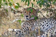 Masai Mara Cheetahs Stock Images