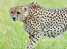 Masai Mara Cheetahs Stock Photo