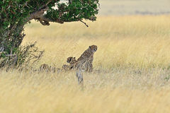 Masai Mara Cheetahs Stock Images