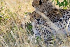 Masai Mara Cheetahs Stock Photography