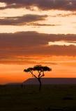 Masai Mara de la puesta del sol del árbol del acacia Fotos de archivo libres de regalías