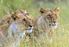Masai Mara dei leoni Fotografia Stock