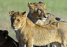Masai Mara dei leoni Immagini Stock Libere da Diritti