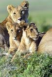 Masai Mara dei leoni Immagine Stock