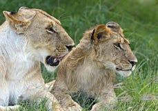 Masai Mara dei leoni Fotografie Stock