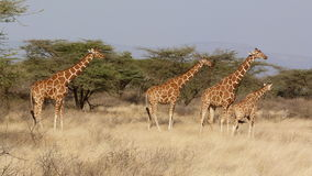 Masai Mara della giraffa Fotografie Stock Libere da Diritti