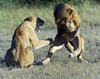 Masai Mara dos leões imagens de stock royalty free