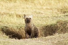 Masai Mara dziecka hiena Zdjęcie Royalty Free