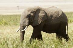 Masai Mara Elephant Stock Image