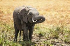 Masai Mara Elephant Fotos de Stock