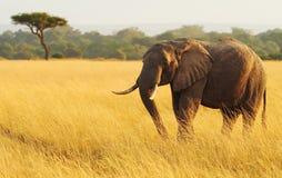 Masai Mara Elephant Stock Afbeelding