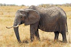Masai Mara Elephant Royalty Free Stock Photo