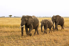 Masai Mara Elephants Stock Photo