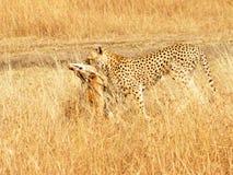 masai mara gazelle гепарда Стоковые Изображения