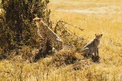 Masai Mara gepardy Fotografia Stock