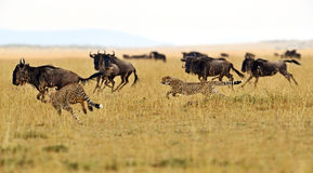 Masai Mara gepardy Zdjęcia Stock