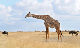 Masai Mara Giraffe imagem de stock