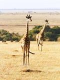 Masai Mara Giraffe Stockbild
