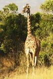 Masai Mara Giraffe Stock Foto's