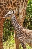 Masai Mara Giraffe Lizenzfreies Stockfoto