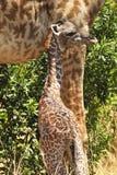 Masai Mara Giraffe Fotografia de Stock Royalty Free