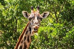 Masai Mara Giraffe Fotografering för Bildbyråer