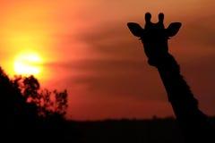 Masai Mara Giraffe Imagen de archivo libre de regalías