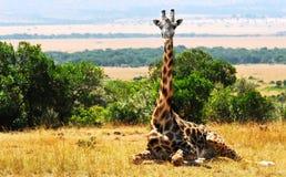 Masai Mara Giraffe Fotografía de archivo
