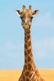 masai mara giraffe Стоковое фото RF