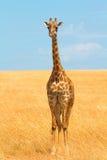 masai mara giraffe Стоковые Фото