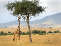 Masai Mara Giraffe. An African Giraffe(Giraffa camelopardalis) on the Masai Mara National Reserve safari in southwestern Kenya stock photography