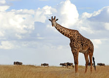 Masai Mara Giraffe Stock Photo