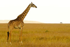 Masai Mara Giraffe Royalty Free Stock Photography