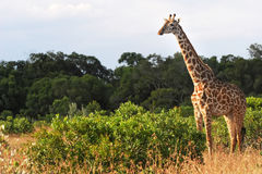 Masai Mara Giraffe Royalty Free Stock Images