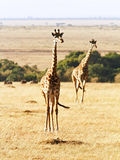Masai Mara Giraffe Stock Image