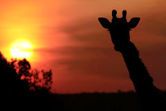 Masai Mara Giraffe Royalty Free Stock Image