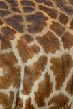 Masai Mara Giraffe skin, on safari, in Kenya, Africa royalty free stock image