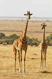 Masai Mara Giraffes Royalty Free Stock Photography