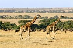 Masai Mara Giraffes Lizenzfreie Stockbilder