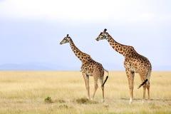 Masai Mara Giraffes Photos libres de droits