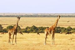 Masai Mara Giraffes Stockbild