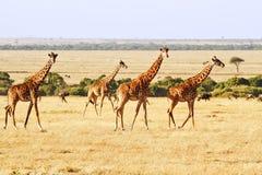 Masai Mara Giraffes Arkivfoto