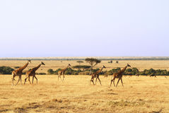 Masai Mara Giraffes Immagini Stock Libere da Diritti