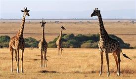 Masai Mara Giraffes stock photo