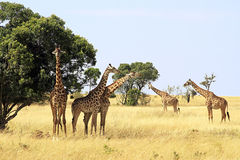 Masai Mara Giraffes Royalty Free Stock Images