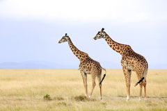 Masai Mara Giraffes Royalty Free Stock Photos
