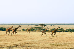 Masai Mara Giraffes Stock Images