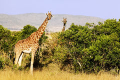 Masai Mara Giraffes Stock Photos