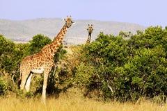 Masai Mara Giraffes Stock Photos