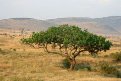 Masai Mara Great Plains de Kenia Fotos de archivo libres de regalías